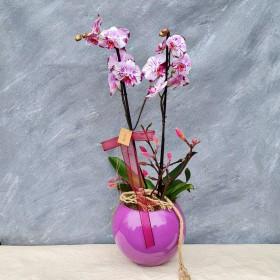 Pembe Benekli Orkide}