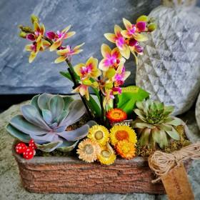 Sarı Mini orkide ve sukulent konsepti}