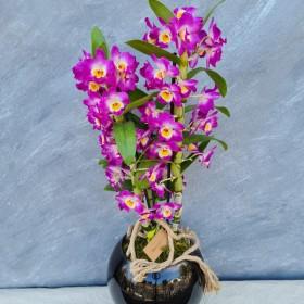 Fuşya Dendrobıum orkide}