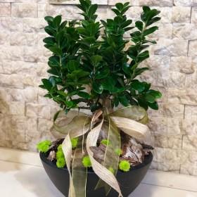 Ficus Bonsai Ağacı}
