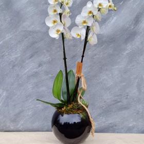 Beyaz orkide fanusta}