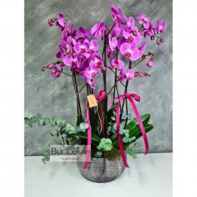 Fuşya 6 Dallı orkide}