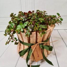 Crasula Brevifolia}