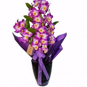 Kokulu Dendrobium orkide}
