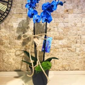 Mavi Orkide}