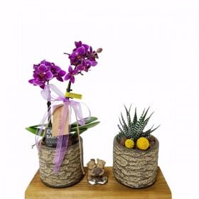 Mini orkide sukulent}