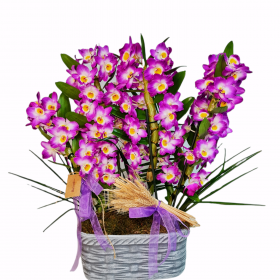 Fuşya dendrobium orkide}